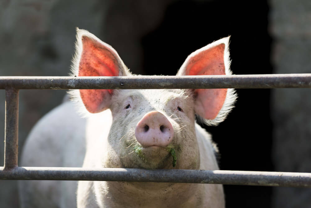 Pork Industry in Panic After $50 Million Fine Sets Precedent Over Farm Pollution