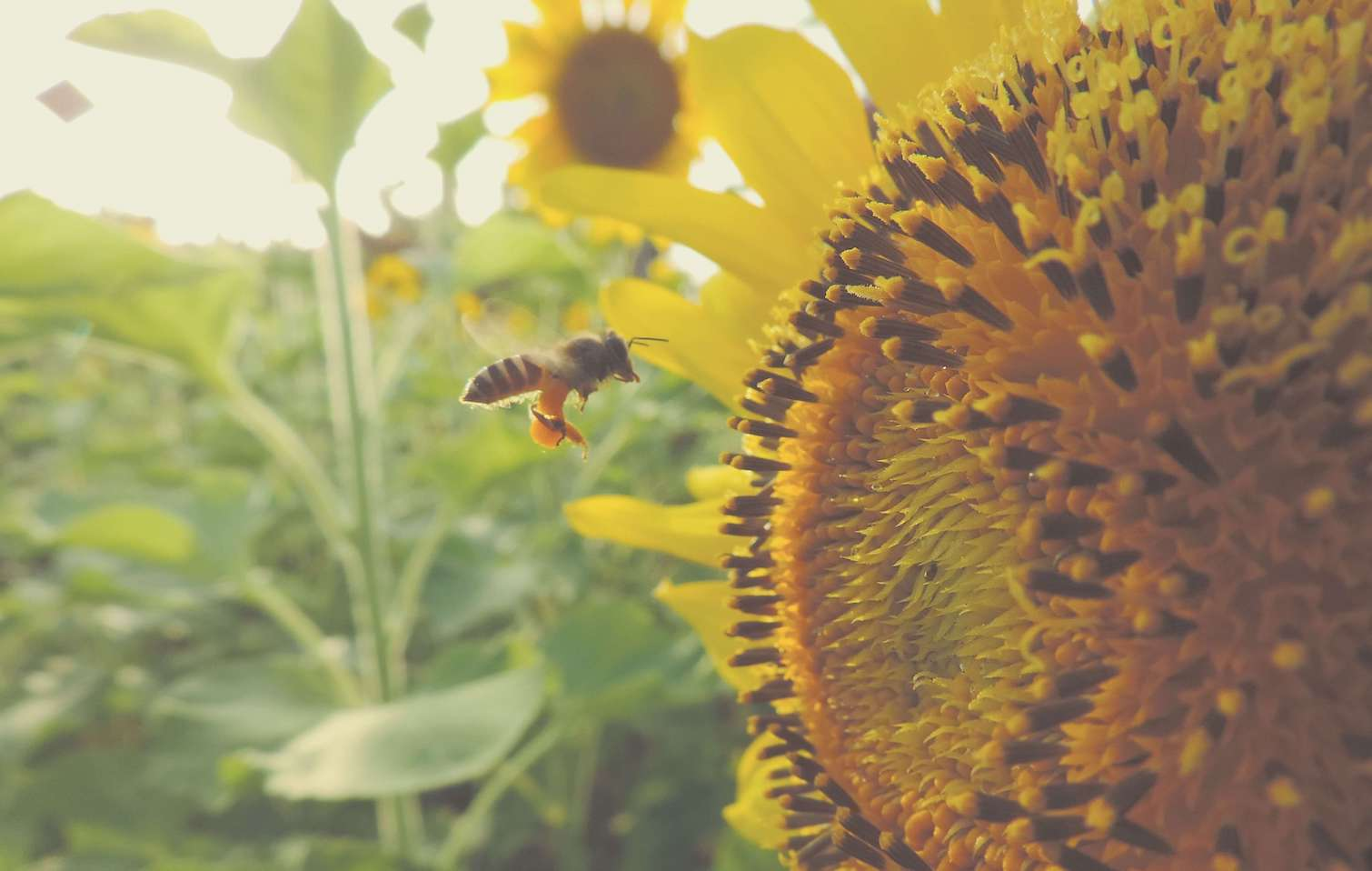 EU Bans Insecticides Linked to Honeybee Decline