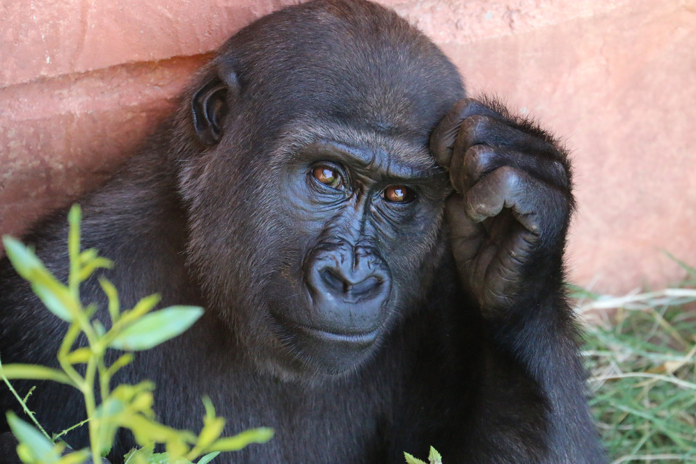 Gorilla Poop Study Suggests Plant-Based Diet May Lead to Better Gut Health in Humans