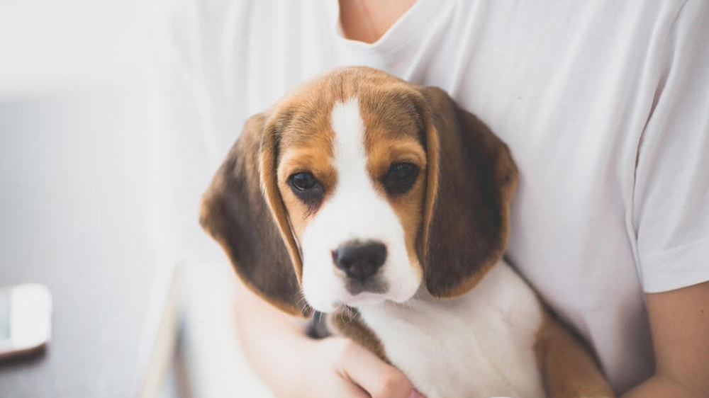 The BeFreegle Foundation Finds Homes for Retired Research Beagles