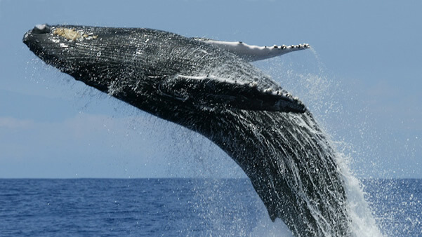 How Blue Whale Poop Plays a Critical Role in Climate Change