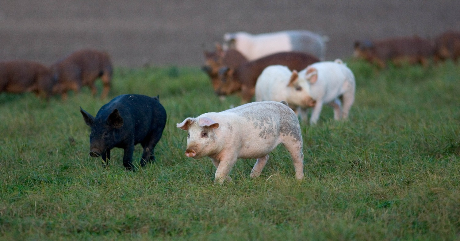 New Short Film Showcases Life From a Factory Farm Pig's Perspective