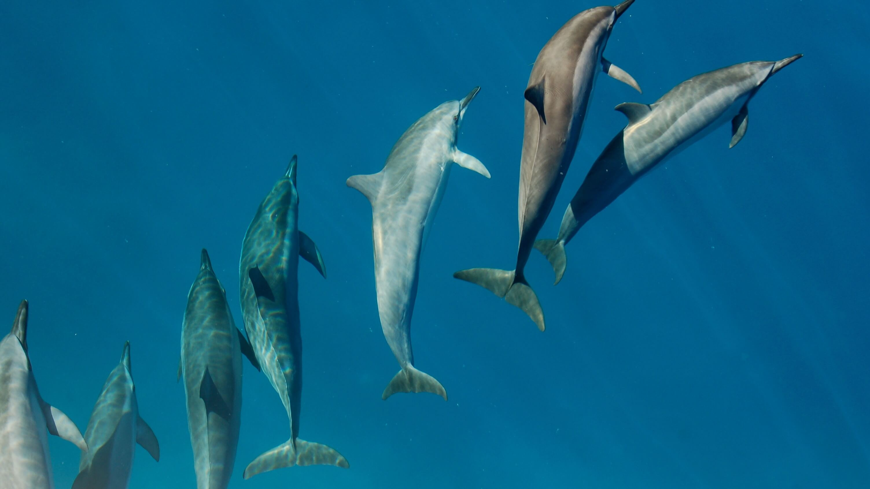Legal Challenge Could End Japanese Dolphin Hunting for Good