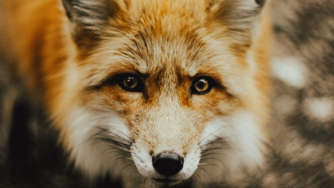 National Trust Bans Fox Hunt After Cruelty Allegations