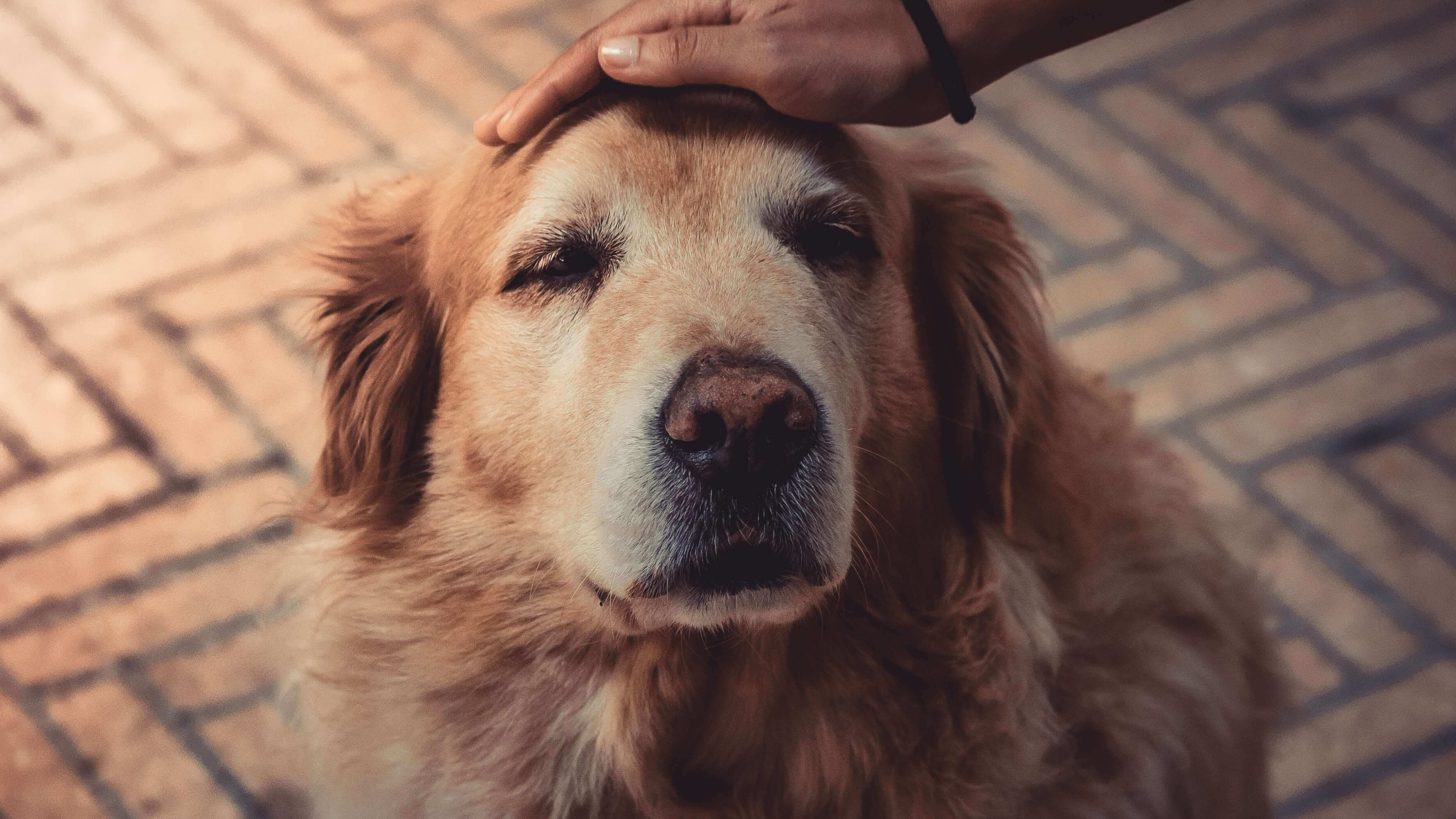 9,000 Golden Retrievers Have Been Saved From China's Dog Meat Trade