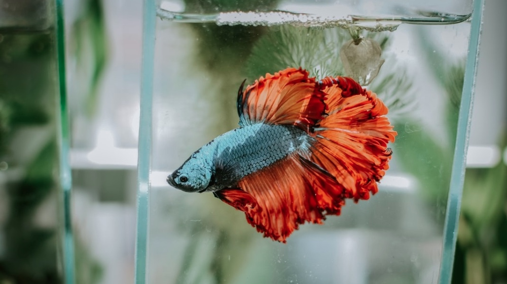The Truth About Betta Fish: Read This Before You Buy One