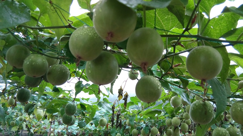 What Is Monk Fruit, and How to Cook With It