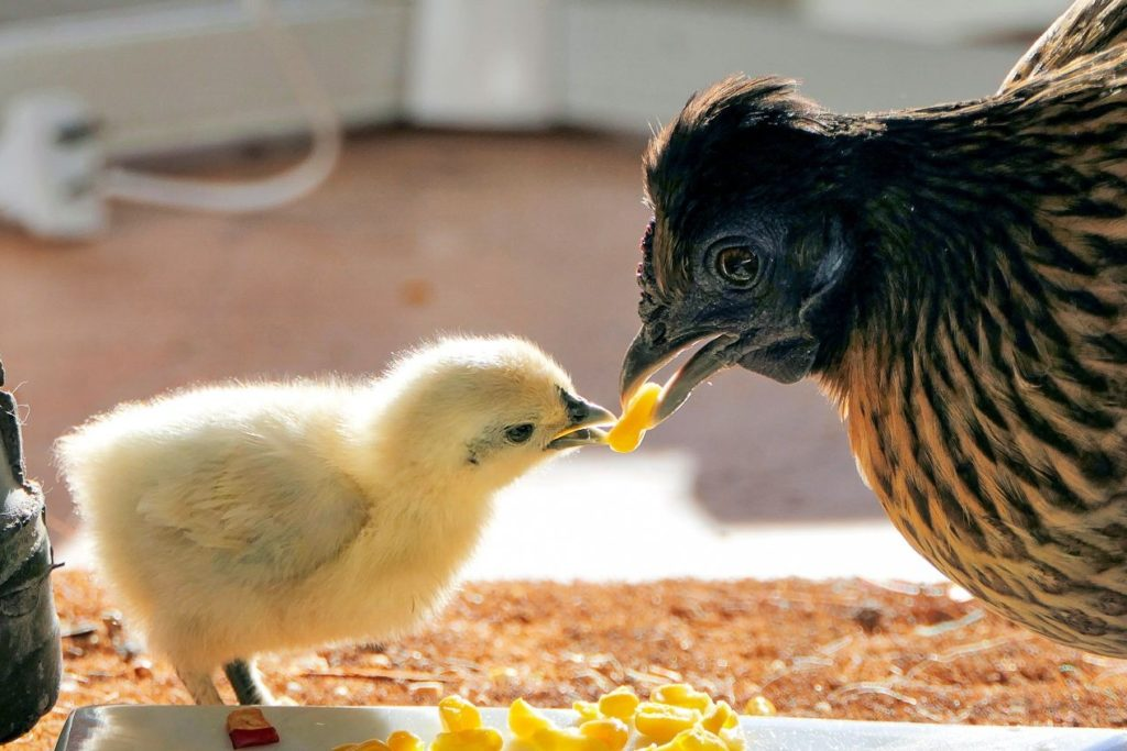 Chick Culling to Be Banned in Germany By 2022