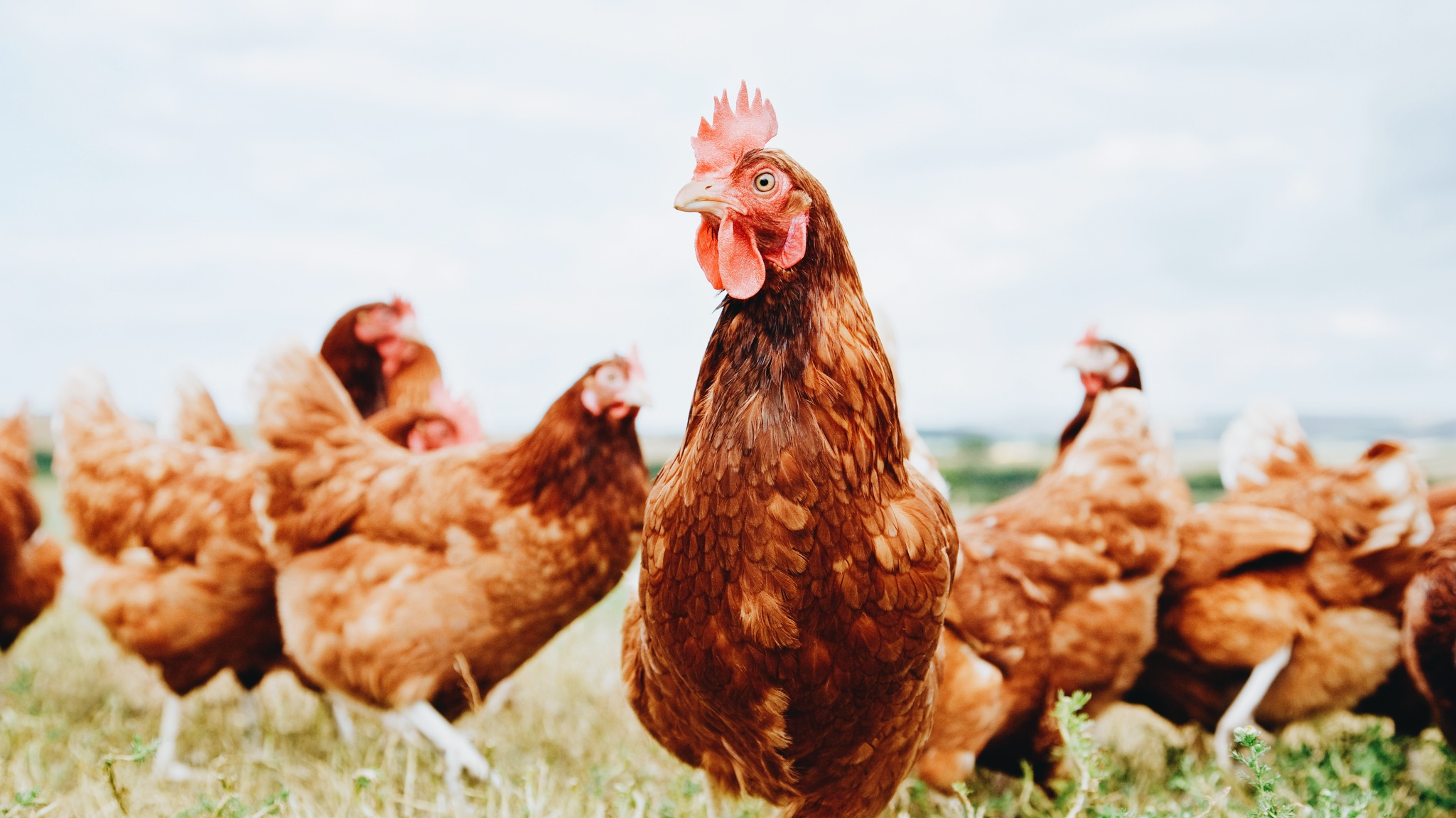 Photograph of chickens roaming together in a green field outside.