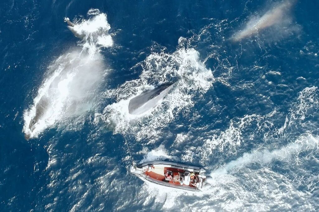 A breaching whale and a boat on the ocean shot from above