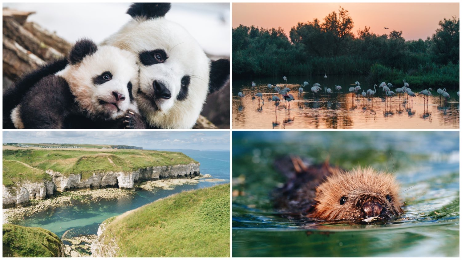 Four-way split image of a panda and her cub (top left), flamingos at dawn (top right), a cove in England (bottom left), and an otter kit (bottom right).
