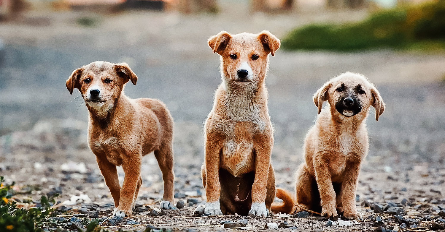Turkey's updated animal welfare legislation will help stray animals. Image is three dogs sat together in the center of the road, looking into the camera.