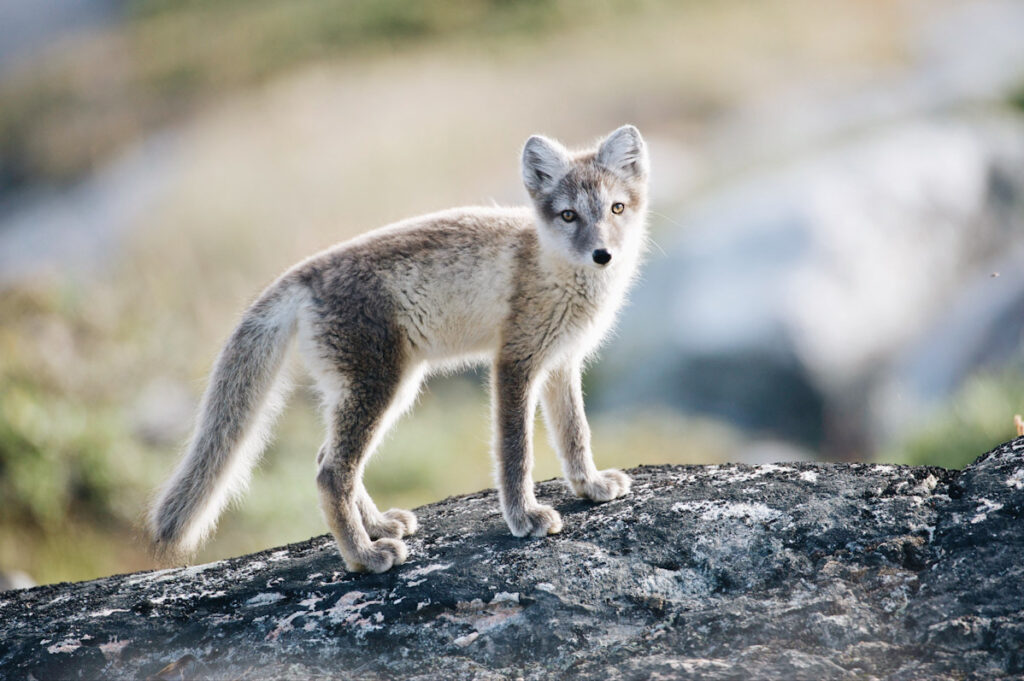 Photo features a grey fox. Another huge animal welfare law of 2021 was Estonia's ban on fur farming.