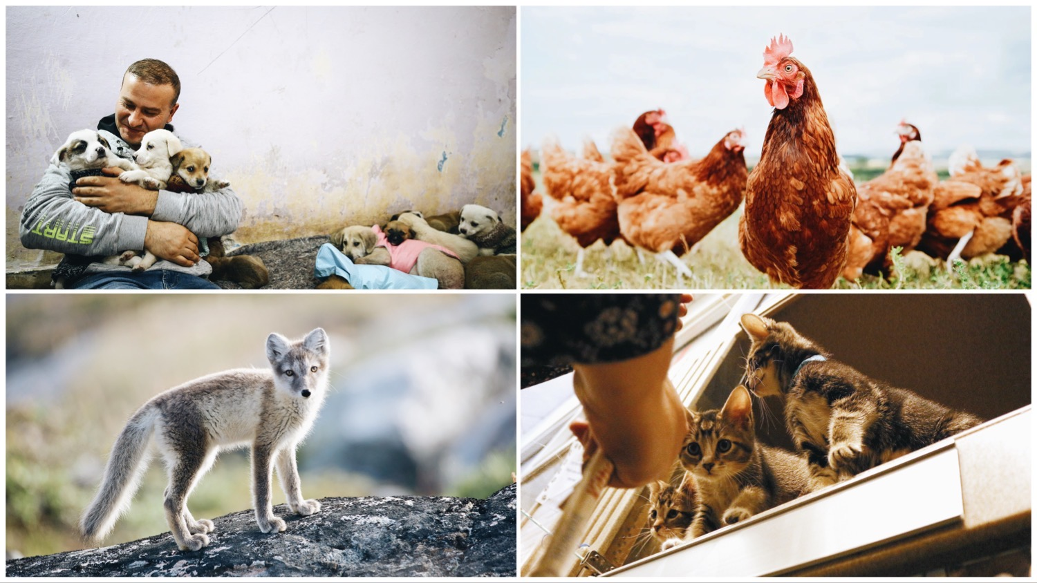 Four-way split image shows Volkan Koc sheltering with stray dogs (top left), free range chickens (top right), a grey fox (bottom left), and kittens in an open window (bottom right).