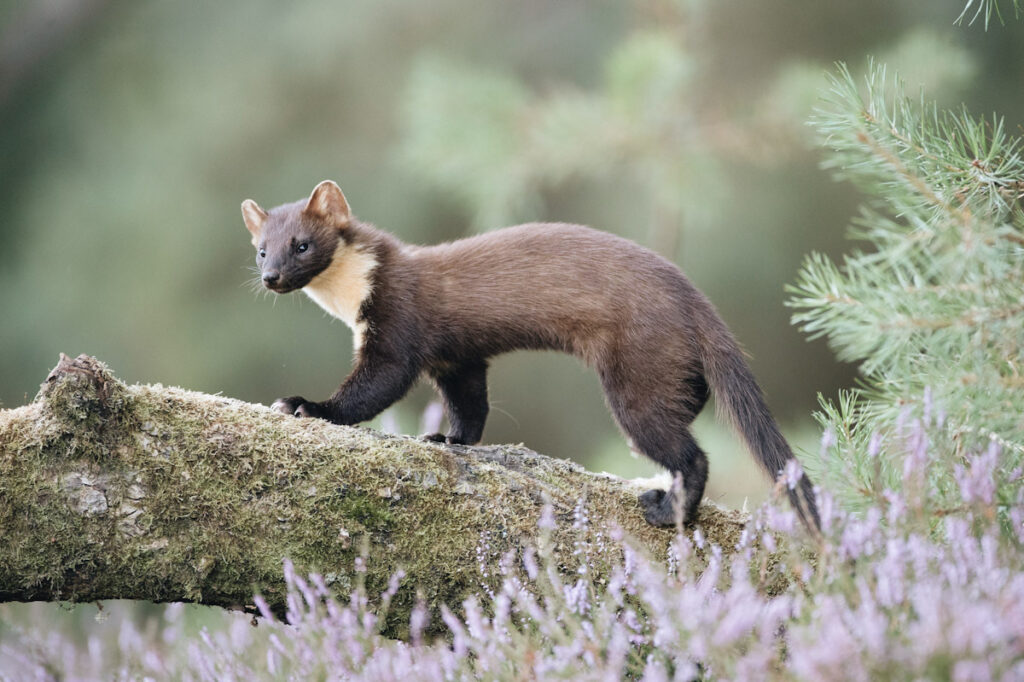 Photo features a European pine marten. The animals are back in England after years of functional extinction.
