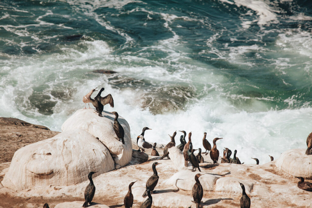 Photo features marine birds perched on rocks by the ocean in San Diego.
