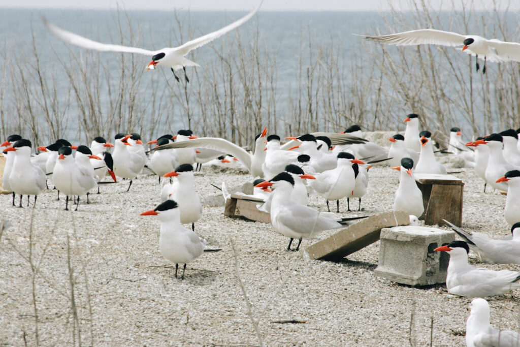 Photo features Common Terns, one of the species that would be protected by increased wetland protection in Canada.