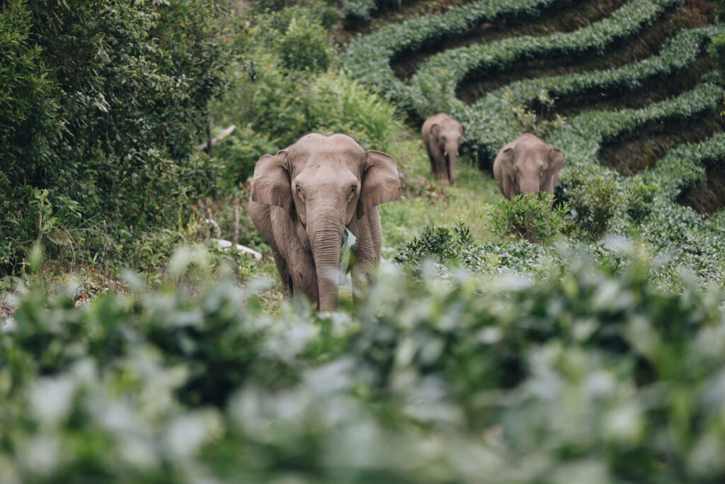 Photo features China's roaming elephant herd as they reach Ning'er County.
