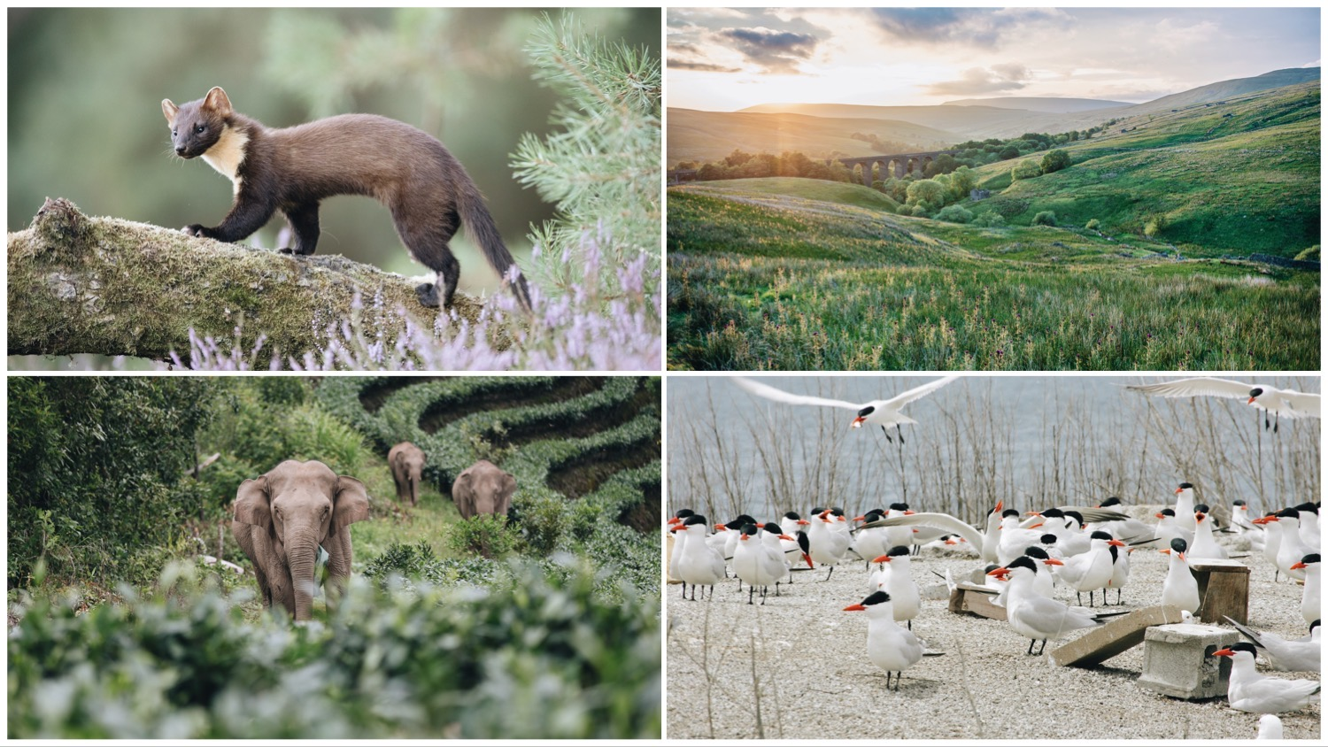 Photo grid featuring four of this week's stories. Clockwise from top left: A British pine marten, rolling English hills, China's roaming elephants, and Canadian Common Terns.