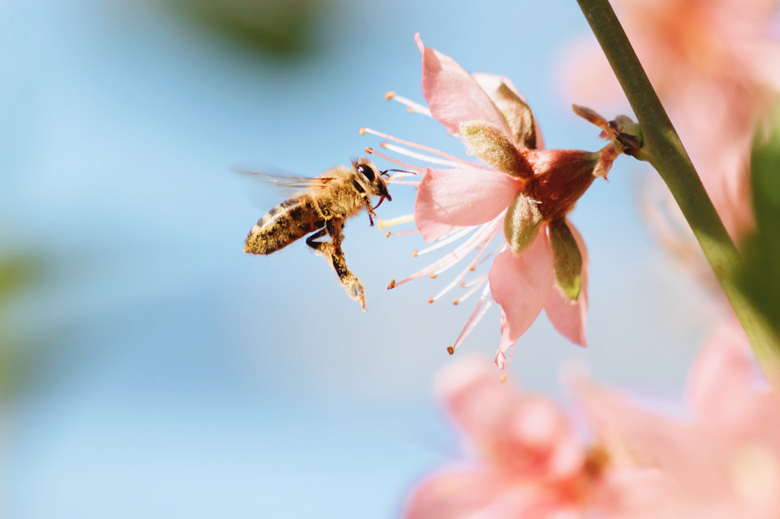 Honey bees are a sign of a healthy ecosystem