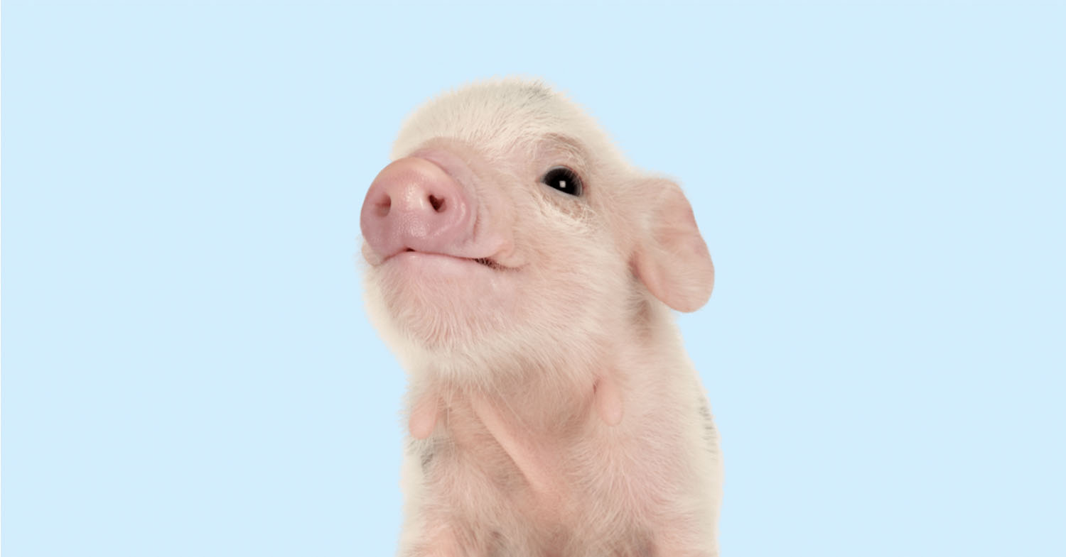 Image of a baby pig placed on a light blue background.
