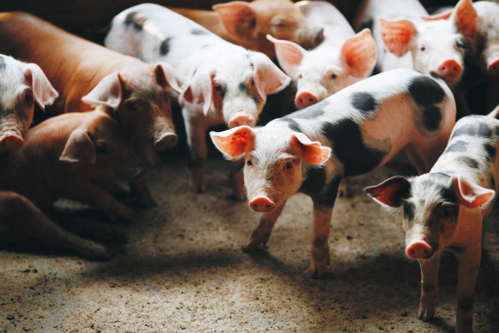Photo of farmed pigs kept indoors and in close quarters.