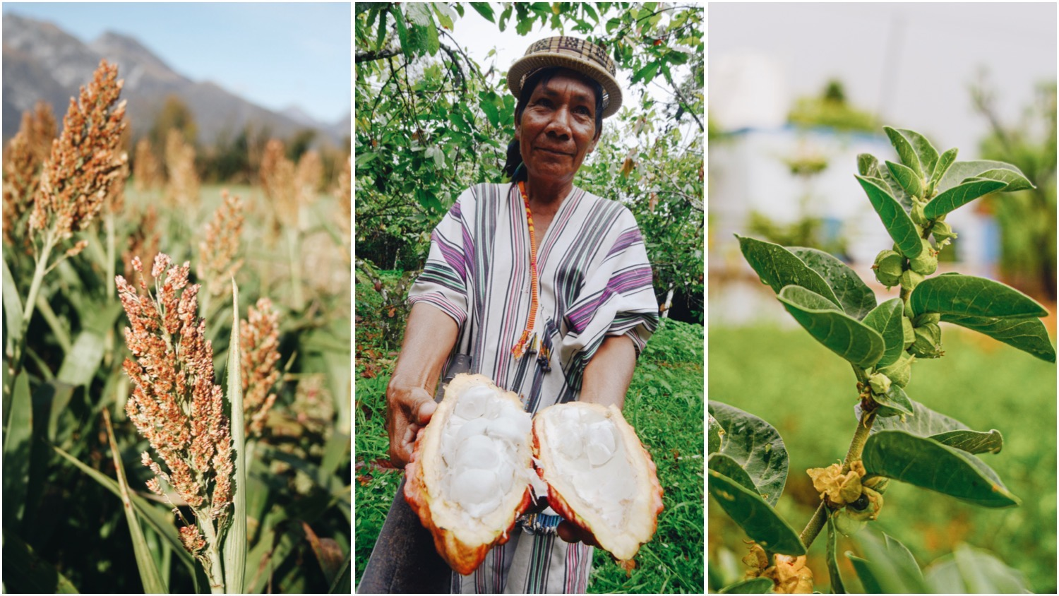 Split image features two photos of superfood plants, sorghum (left), and ashwagandha (right), with the Ashaninka tribe's Tomas Bardales holding organic cocoa fruit (center).