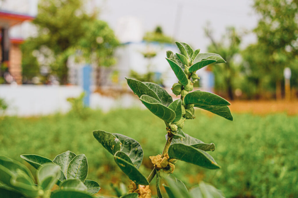 Photo shows withania somnifera (also known as ashwagandha) growing in a field in India.
